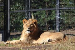 Grand lion africain Photographie stock
