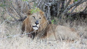 Grand lion africain mâle Photo stock