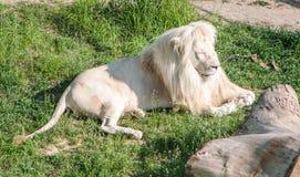 Grand lion blanc mâle Photographie stock libre de droits