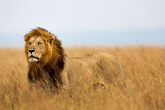 Grand Lion Caesar dans le masai Mara Photographie stock