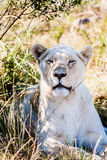 Grand lion femelle fixant sur une savane africaine pendant le coucher du soleil Photos stock