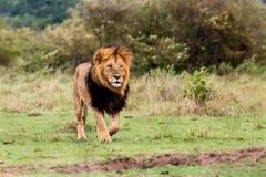 Grand Lion Lipstick dans le masai Mara Image stock