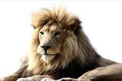 Grand lion mâle Image libre de droits