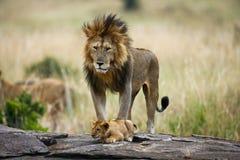 Grand lion masculin avec l'petit animal Stationnement national kenya tanzania Masai Mara serengeti photo stock
