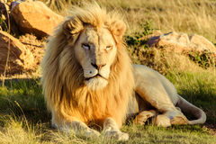 Grand lion masculin fixant sur une savane africaine pendant le coucher du soleil Photo stock