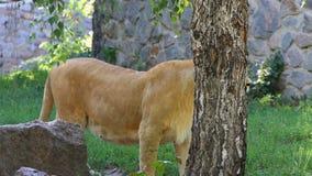 Grand Lion Stands Near féminin un mur en pierre avec la verdure en été banque de vidéos