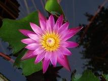 Grand lis rose sur le lac Images libres de droits