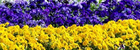 Grand lit de fleur de floraison dans les couleurs de la trisomie 21 photo libre de droits