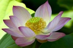 Grand lotus rose Image libre de droits