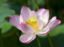 Grand lotus rose Photographie stock libre de droits