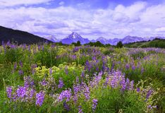 Grand Lupine Royalty Free Stock Image