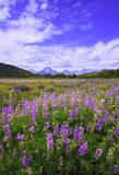 Grand Lupine Royalty Free Stock Photos