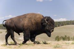 Grand mâle américain de Buffalo chez Yellowstone N.P. - 1 Photos libres de droits