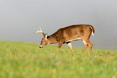 Grand mâle blanc-coupé la queue de cerfs communs dans le pré brumeux Photos libres de droits