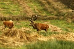Grand mâle, cerf commun rouge pendant l'ornière Photographie stock libre de droits