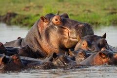 Grand mâle d'hippopotame dans le regroupement d'hippopotame du fleuve de Chobe Photos stock