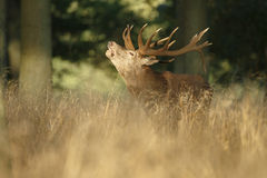 Grand mâle mûr de cerfs communs rouges Photos stock