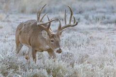 Grand mâle mûr de whitetail traînant une daine dans la chaleur Image libre de droits