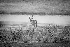 Grand mâle Waterbuck se tenant prêt l'eau photographie stock libre de droits