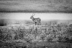 Grand mâle Waterbuck se tenant prêt l'eau photographie stock