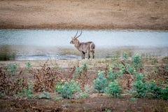 Grand mâle Waterbuck se tenant prêt l'eau photo stock