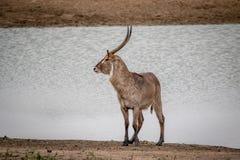 Grand mâle Waterbuck se tenant prêt l'eau photos stock