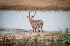 Grand mâle Waterbuck se tenant prêt l'eau images stock