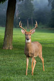 Grand mâle whitetailed de cerfs communs Photographie stock libre de droits