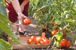 Grand-mère prenant les tomates fraîches dans le jardin photo stock