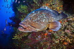 Grand mérou des îles de Medes Images libres de droits