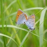 Grand macro orange de cuivre de couples de papillons Photographie stock