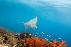 Grand Manta Ray sur Coral Reef Photographie stock libre de droits