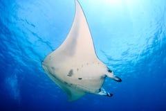 Grand Manta Ray sur Coral Reef Photos libres de droits