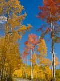 Crimson Aspen on a Back Road in Colorado stock image