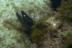 Grand moray image libre de droits