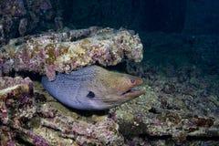 Grand moray habitant dans Thistlegorm photo stock