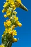 Grand Mullein, thapsus de Verbascum, transitoire jaune de fleur, ciel bleu photos stock