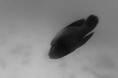 Grand Napoleon Fish noir et blanc images libres de droits