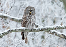 Grand nebulosa de Grey Owl Strix été perché sur un arbre Photographie stock