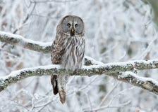 Grand nebulosa de Grey Owl Strix été perché sur un arbre Photographie stock