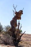 Grand nid de tisserand masqué par Africain sur l'arbre Photos stock