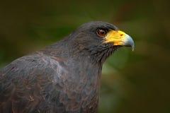 Grand Noir-faucon, urubitinga de Buteogallus, portrait de détail d'oiseau sauvage de Belize Observation des oiseaux de l'Amérique Photos libres de droits