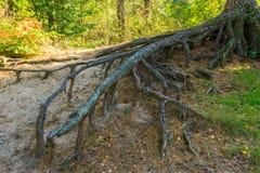 Grand nu embranché outre des racines d'arbre s'élevant loin au-dessus de la terre image libre de droits