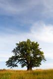 Grand oak Stock Images