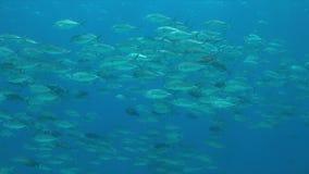 Grand-oeil Trevallies dans l'eau bleue Photos stock