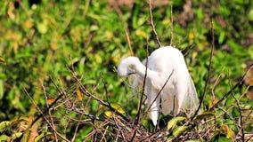 Grand oiseau blanc adulte de héron dans le plumage d'élevage Image libre de droits