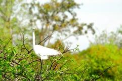 Grand oiseau blanc de héron dans le plumage d'élevage dans le nid Photographie stock libre de droits