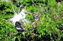 Grand oiseau blanc de héron dans le plumage d'élevage en Floride Images libres de droits