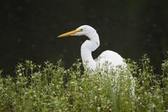Grand oiseau blanc de héron, Walton County, la Géorgie Etats-Unis photos stock