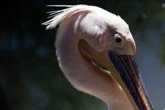 Grand oiseau de bouche Photographie stock libre de droits